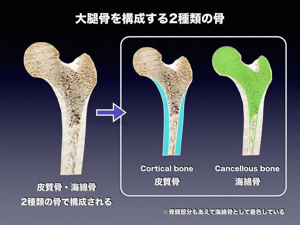 皮質骨と海綿骨